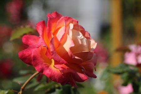 buzzer: Red roses Stock Photo