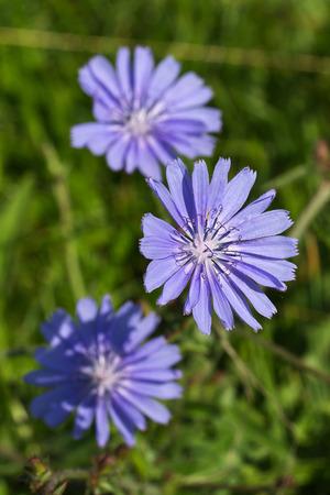 Chicory Reklamní fotografie