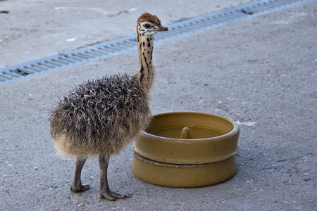 ostrich chick: Young Ostrich