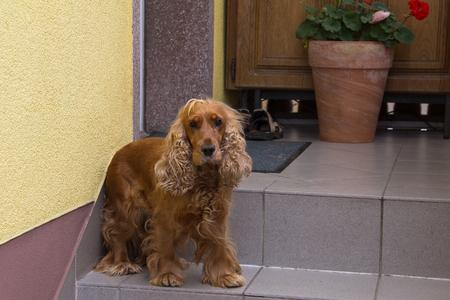 doorstep: Spaniel dog on the doorstep. Stock Photo