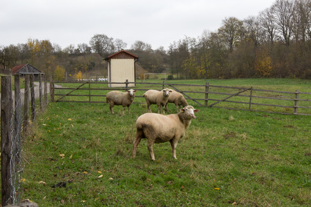 ovine: Sheep is located in grass