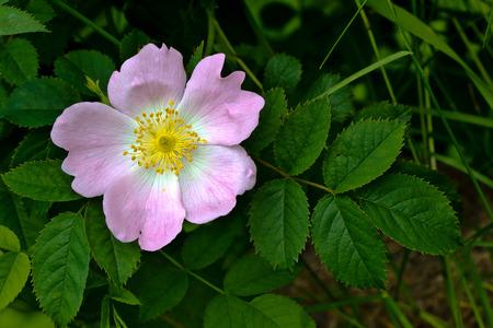 vivo: Dog-rose