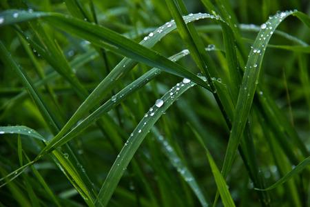 gotas de agua: Gotas de rocío. Gotas de lluvia que cuelga en las plantas. Foto de archivo