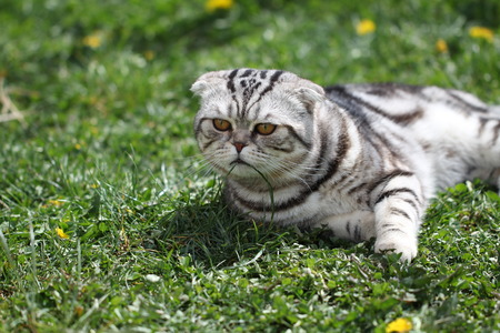 british pussy: British Shorthair Cat. Cat sits on a green lawn.