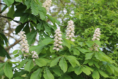 aesculus hippocastanum: Beautiful blooming chestnuts in the spring park