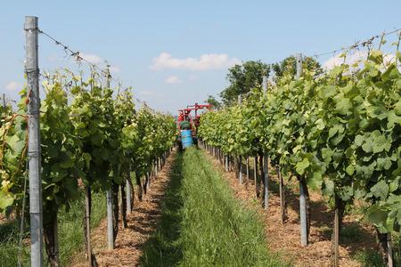 viñedo: Viñedos. Trabajar en los viñedos. Agricultor en un tractor de fumigación de viñedos. Foto de archivo