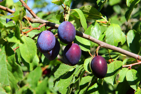 plums: Plums