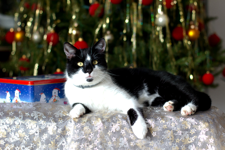 christmas pussy: A domestic cat under the Christmas tree
