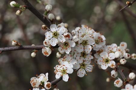 arbres fruitier: La floraison des arbres fruitiers de printemps.