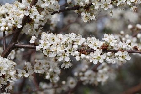 arbres fruitier: Spring flowering of fruit trees