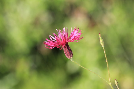 cornflower: Cornflower