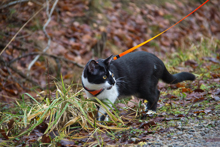 Domestic cat out on a leash