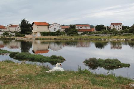 swans: swans