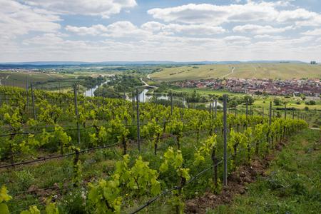viniculture: Vineyards, Main River, Germany. Vineyards on the Main River near Volkach, Franconia, Bavaria, Germany.
