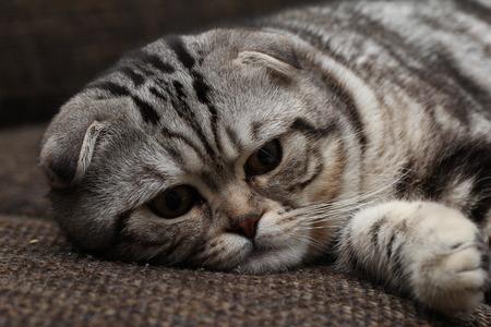 british pussy: British Shorthair Cat