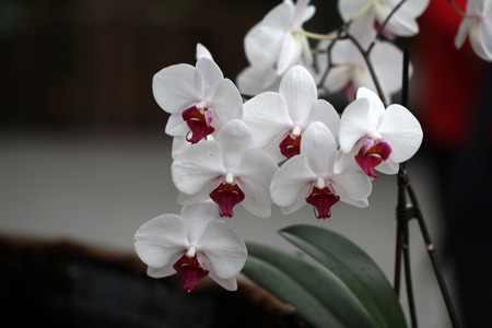 pink orchid: Orchids