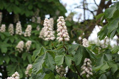 chestnuts: Flowering chestnuts