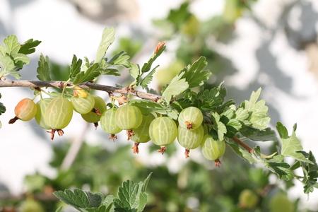 grosella: Frutas grosella espinosa