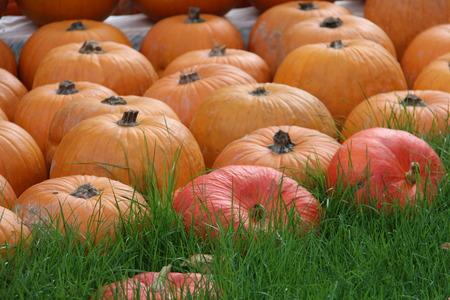 organic background: Multicolored decorative pumpkins on autumn festival