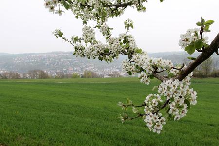 arbres fruitier: Spring flowering. Spring flowering of fruit trees.