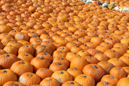 Pumpkins. Mehrfarbige dekorative Kürbisse auf Herbstfest.