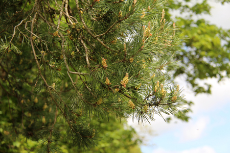 conifer: Conifer tree.