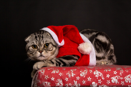 christmas pussy: Cat in a suit of Santa Claus