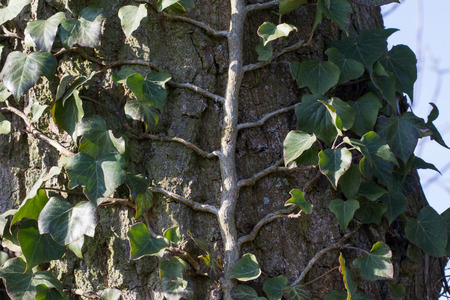 ornamental plant: Ivy - a beautiful ornamental plant Stock Photo