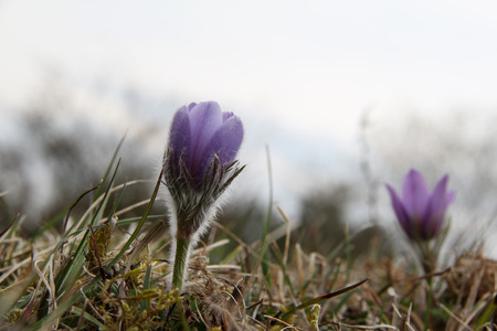pasque: Purple pasque flowers in springtime Stock Photo