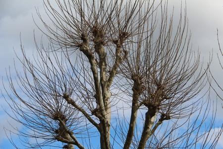 tarpaulin: Plane trees against the sky