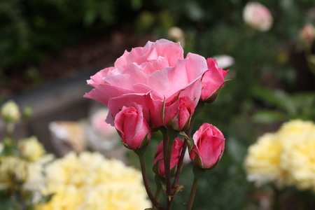 pink bushes: Beautiful roses in the garden