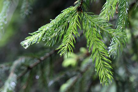 balsam: pine Needles Stock Photo