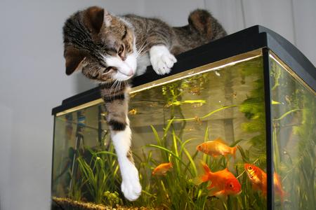 macroshot: Cat  Cat sitting on the aquarium, playing with goldfish
