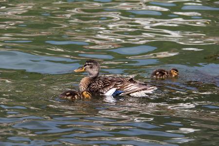color image mallard duck: Duck on the river Stock Photo