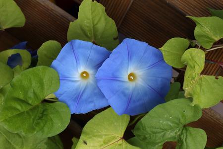 bindweed: Blue bindweed