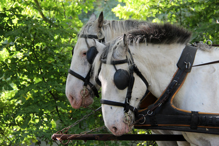 blinders: Horse with blinders on the eyes