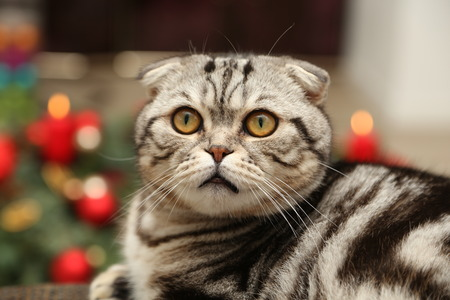 The cat on the background of Christmas decorations  British Shorthair kitten