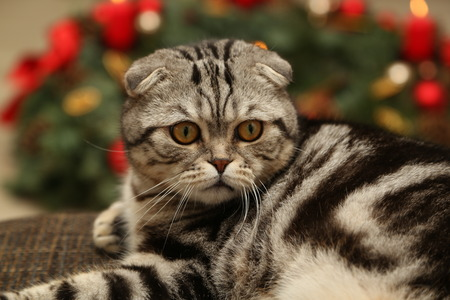 christmas pussy: The cat on the background of Christmas decorations  British Shorthair kitten