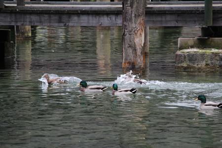 color image mallard duck: Ducks on the river