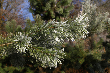 Coniferous trees in forest  Needles in the frost Stock Photo