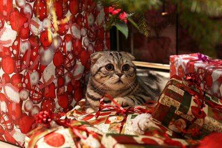 Holidays  Beautiful Christmas and New Years scene  British Shorthair kitten Stock Photo