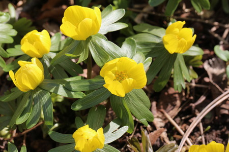 Winter aconite  Eranthis hyemalis grows in Southern Europe, the picture is taken in Germany. Stock Photo