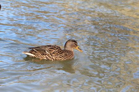 color image mallard duck: Birds  Ducks on the river Stock Photo
