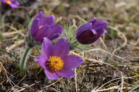 wispy: Purple pasque flowers in springtime  Hairy fuzzy pasque-flowers in soft purple pastel colors in springtime.