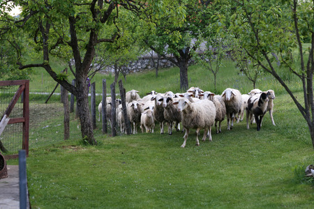 ovine: Pets  Sheep and goats graze in a pasture