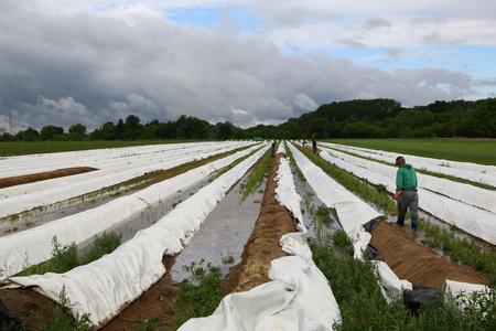 Cultivation process Asparagus plants  Asparagus cultivation