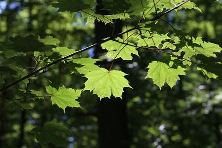 Foliage  Green leaves in sunlight. Lizenzfreie Bilder