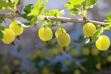 Green gooseberry ripens on a bush.