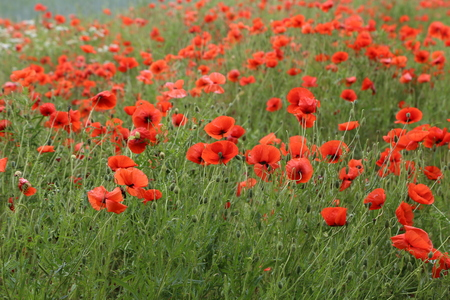 Beautiful wildflowers  Red poppy flowers