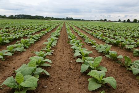 Agriculture  Tobacco Plantation  Growing tobacco Lizenzfreie Bilder